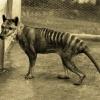 thylacine-tasmanian-tiger-